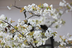 Cherry blossom flowers in garden at Japan Mint, Stock Photography