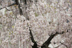 Cherry blossom flowers in garden at Japan Mint, Stock Photos