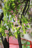 Cherry blossom flowers in garden at Japan Mint, Royalty Free Stock Photos