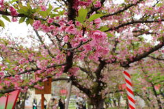 Cherry blossom flowers. In garden at Japan Mint, Osaka, Japan Stock Image