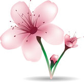 Cherry blossom flowers. Illustration of cherry blossom flowers Royalty Free Stock Photography