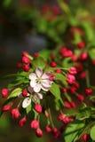 The cherry blossom flowers macro shot Stock Image