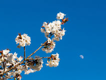 Cherry blossom flowers with moon in background Royalty Free Stock Photos