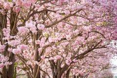 Cherry Blossom Flowers på vår Royaltyfria Foton