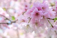 Cherry blossom flowers in the park. Close up pink cherry blossom flowers in the park and blur background Stock Images
