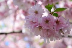 Cherry blossom flowers in the park. Close up pink cherry blossom flowers in the park and blur background Stock Photo