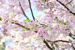 Cherry blossom flowers in the park. Take a photo of a cherry blossom flowers and blur background Royalty Free Stock Image