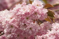 Cherry Blossom flowers Stock Photography