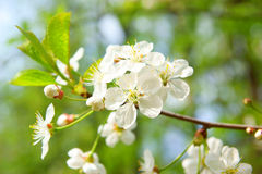 Cherry blossom flowers in spring Royalty Free Stock Photography