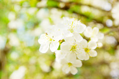 Cherry blossom flowers in spring Stock Photos