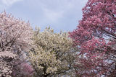 Japanese cherry blossoms - Sakura Stock Image