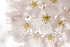 Japanese cherry blossoms - Sakura Stock Images