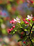The cherry blossom flowers in spring sunshine macro shot Stock Photography