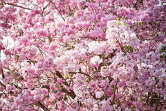 Cherry Blossom Flowers at Springtime Royalty Free Stock Photo