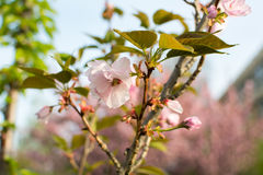 Cherry blossom flowers on a tree Royalty Free Stock Photography