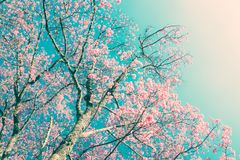 Cherry blossom flowers in vintage style nature background Royalty Free Stock Images