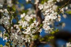 Cherry blossom. Flowery cherry tree in spring Stock Photos