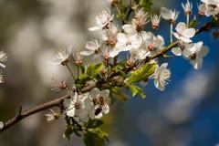 Cherry blossom. Flowery cherry tree in spring Stock Photo