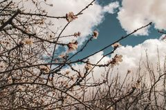 Cherry blossom forecast cloudy day. In Cordoba, Andalusia in Spain royalty free stock photos