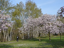 Cherry blossom at the former Berlin Wall trail Royalty Free Stock Image