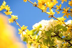 Cherry blossom within forsythia blossoms in Germany Royalty Free Stock Images