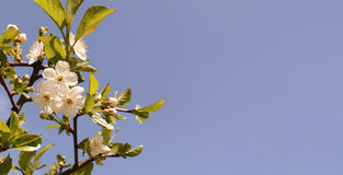 Cherry Blossom Frühling blüht Hintergrund Kirschblühender Baum auf blauem Himmel Lizenzfreie Stockbilder