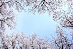 Cherry blossom frame Royalty Free Stock Photo
