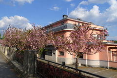 Cherry blossom in front of building Royalty Free Stock Photography