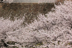 Cherry blossom in front of Japanese castle wall Royalty Free Stock Images