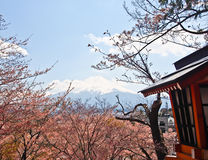 Cherry blossom and Fujiyama mountain Stock Images