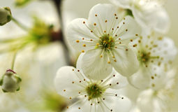 Cherry blossom. In full bloom in the background  of not yet blooming cherry flowers buds Stock Photos