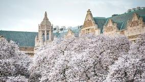Cherry Blossom In Full Bloom bianco contro costruzione classica d'annata all'università di Washington On un il bello giorno di pr fotografia stock