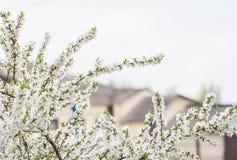 Cherry blossom in full bloom Stock Image