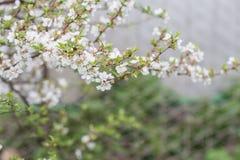 Cherry blossom in full bloom Stock Photos