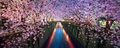 Cherry blossom in full bloom at the Nakamegura Sakura festival, Tokyo, Japan stock image
