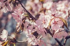 Cherry blossom in full bloom.Shallow depth of field. Cherry blossom in full bloom. Cherry flowers in small clusters on a cherry tree branch, fading in to white stock photos