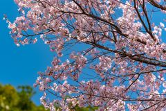 Cherry blossom full bloom in Tokyo Chidorigafuchi park. Cherry blossom full bloom in spring season around Tokyo Chidorigafuchi park (northernmost part of Edo royalty free stock image