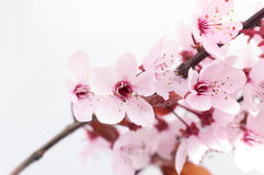 Cherry blossom for fun and pleasure Royalty Free Stock Images