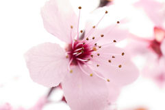 Cherry blossom for fun and pleasure Royalty Free Stock Photos