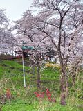 Cherry blossom in Funaoka Joshi Park in Miyagi prefecture, Japan Royalty Free Stock Photography