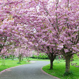 Cherry Blossom in a Garden. Cherry Blossom Path in a Tranquil Garden Royalty Free Stock Photo
