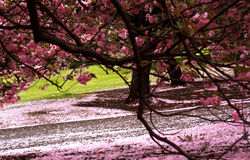 Cherry blossom garden Royalty Free Stock Image