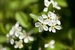 Cherry Blossom. In the garden, Bashkortostan, Russia Royalty Free Stock Photography