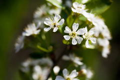 Cherry Blossom. In the garden, Bashkortostan, Russia Royalty Free Stock Images