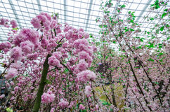Cherry Blossom at Garden by the bay. Singapore – 25 March 2016: Flower Dome of Garden by the Bay shrouded by the delicate pink petals of Sakura flowers. Cherry Stock Photo