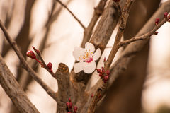 Cherry Blossom in the garden stock image