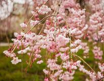 Cherry blossom at garden in Kyoto, Japan royalty free stock photos