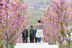 Cherry blossom garden Royalty Free Stock Images