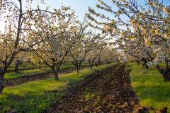 Cherry orchard blooms in spring royalty free stock photo