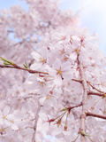 Cherry blossom of a Garden in Tokyo. Royalty Free Stock Image